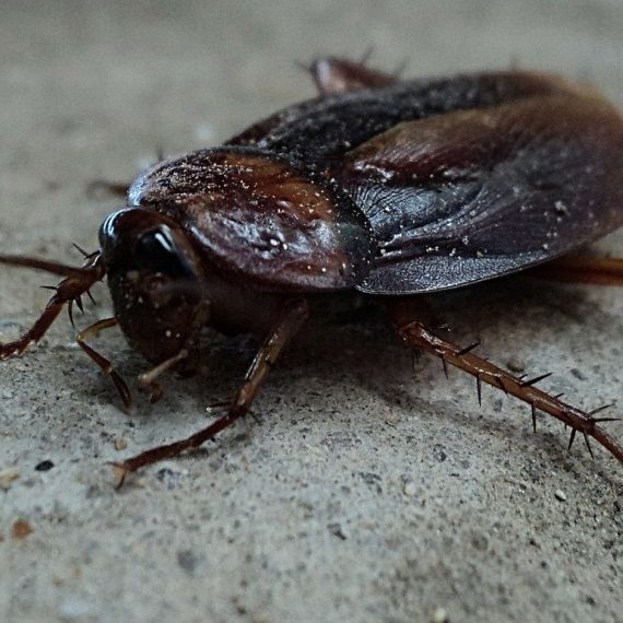 Cockroaches, Pest Control in Upper Edmonton, N18. Call Now! 020 8166 9746