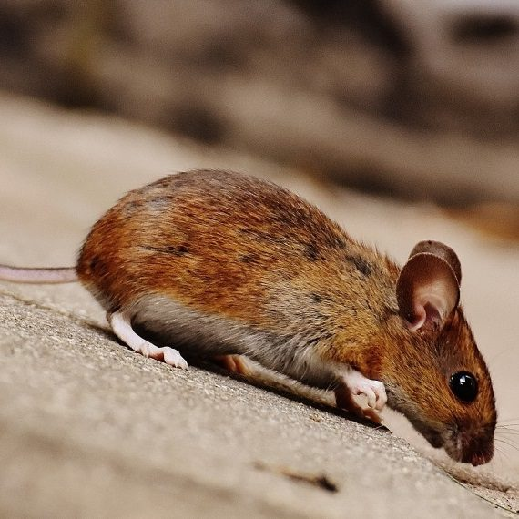Mice, Pest Control in Upper Edmonton, N18. Call Now! 020 8166 9746