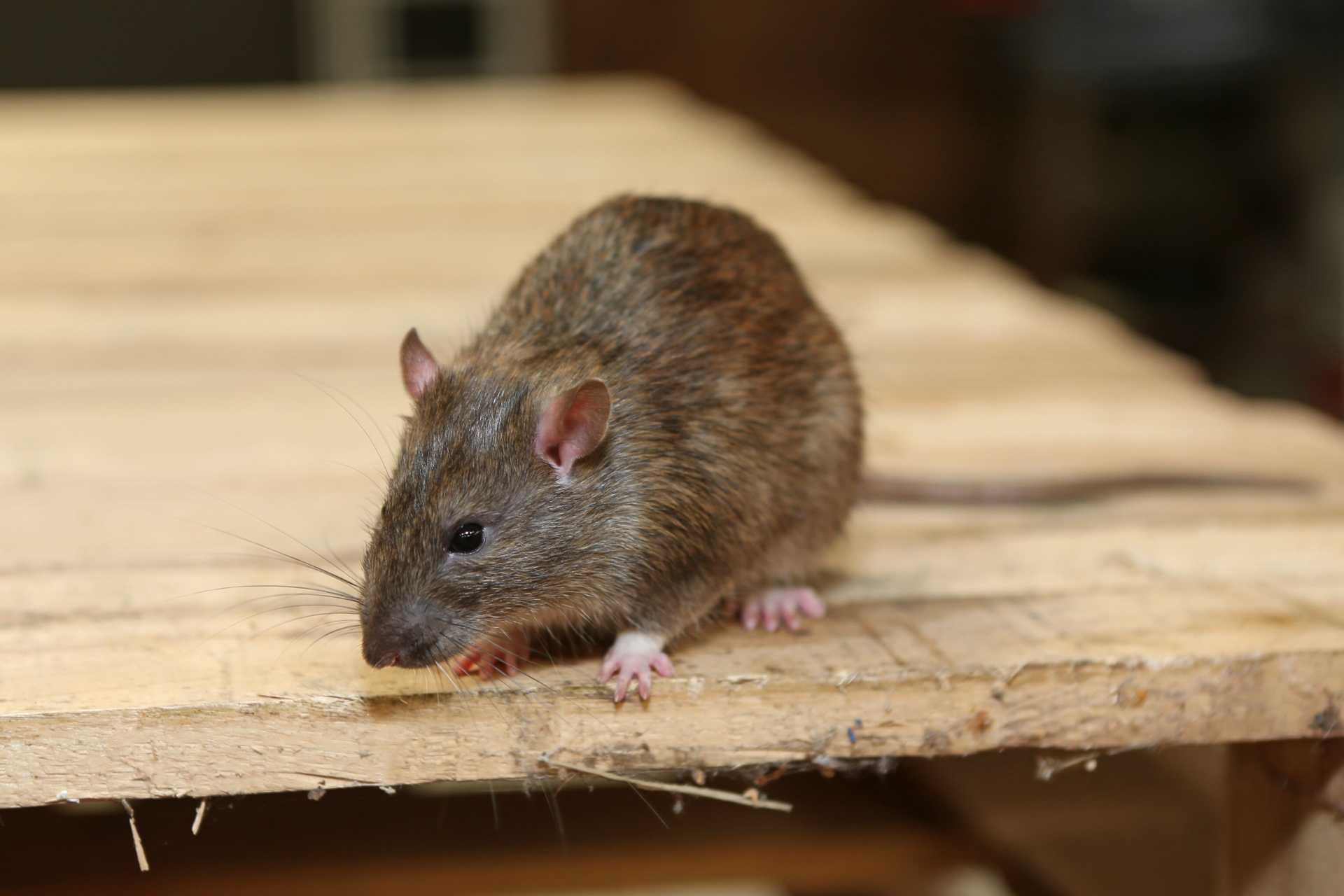 Rat Infestation, Pest Control in Upper Edmonton, N18. Call Now 020 8166 9746