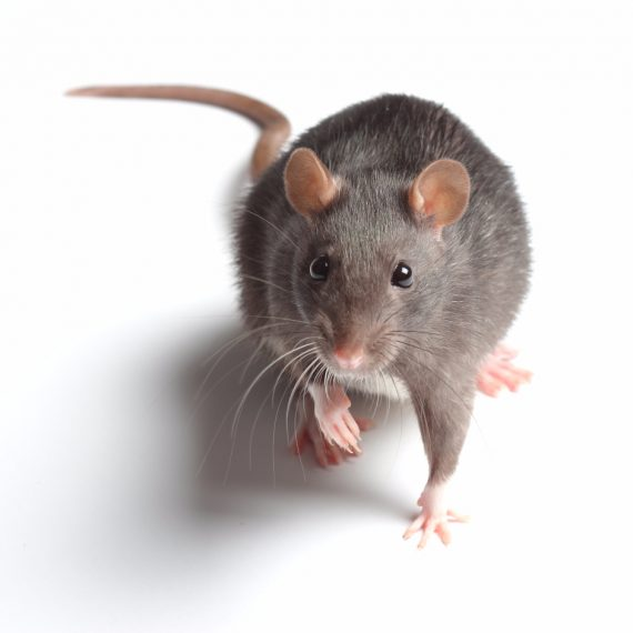 Rats, Pest Control in Upper Edmonton, N18. Call Now! 020 8166 9746