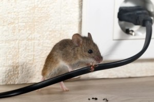 Mice Control, Pest Control in Upper Edmonton, N18. Call Now 020 8166 9746