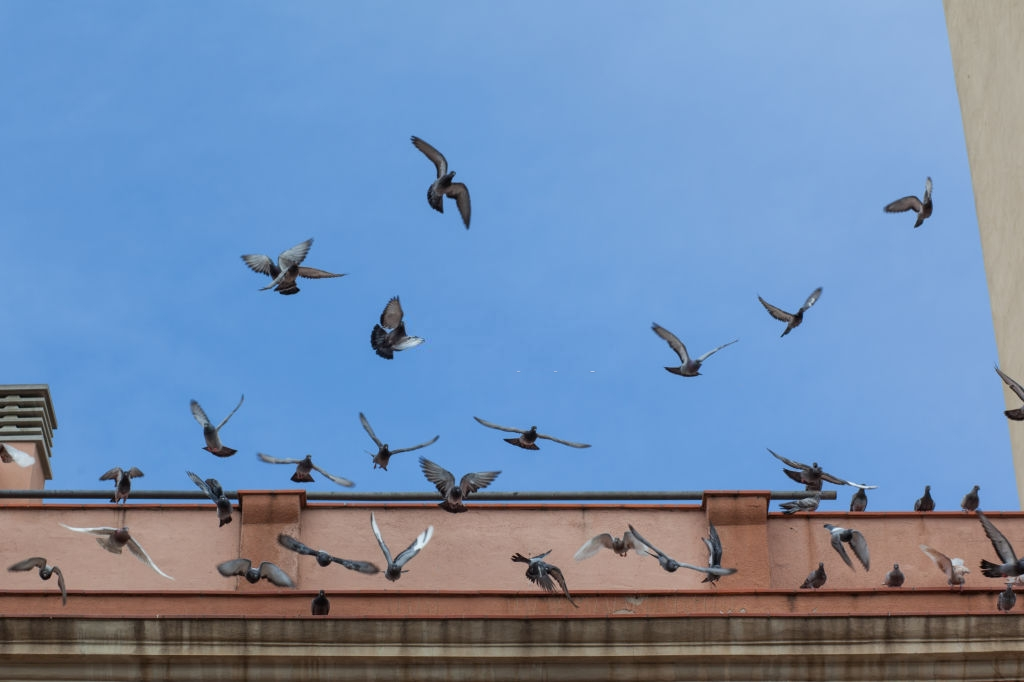 Pigeon Pest, Pest Control in Upper Edmonton, N18. Call Now 020 8166 9746