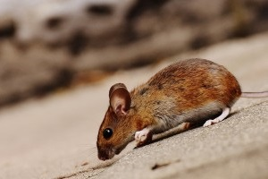 Mouse extermination, Pest Control in Upper Edmonton, N18. Call Now 020 8166 9746